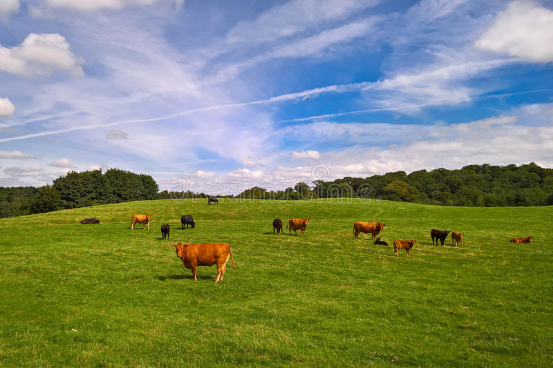 Cows and calves in field royalty free stock photo