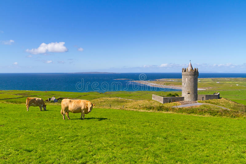Cows at the castle in Ireland royalty free stock image