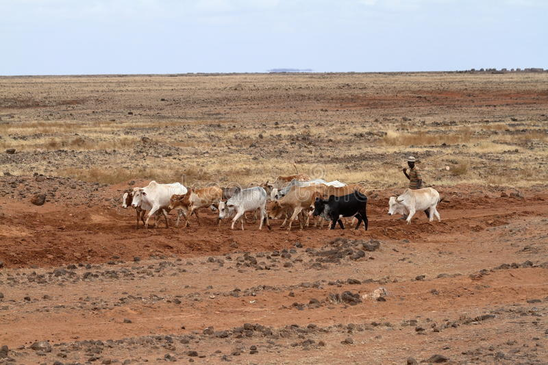 Cows and cattle breeders in the north of Kenya. A Cows and cattle breeders in the north of Kenya stock photos