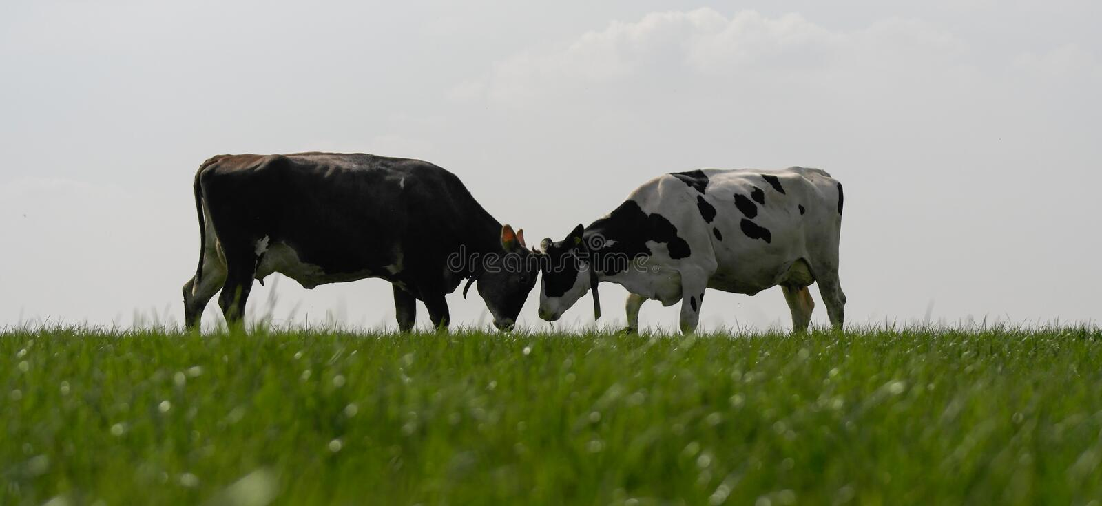 Who is the boss??. Cows are challenging each other. Who is the boss? In the field there is a new order to settle. low point of view makes this picture different royalty free stock photo