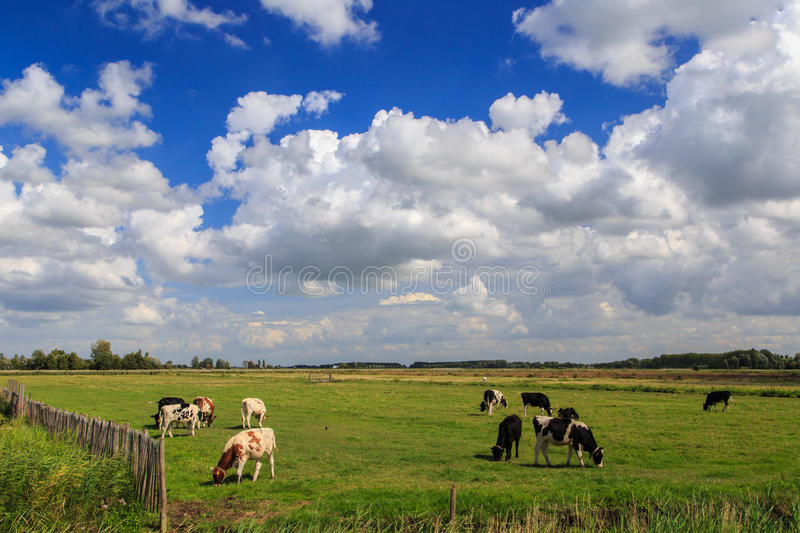 Cows and clouds stock images