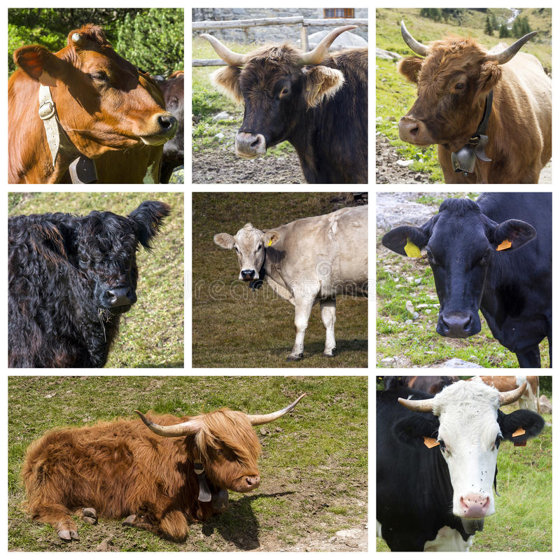 Cows collage stock photography