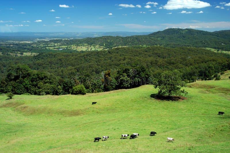 Cows Come Home 1 Royalty Free Stock Photos