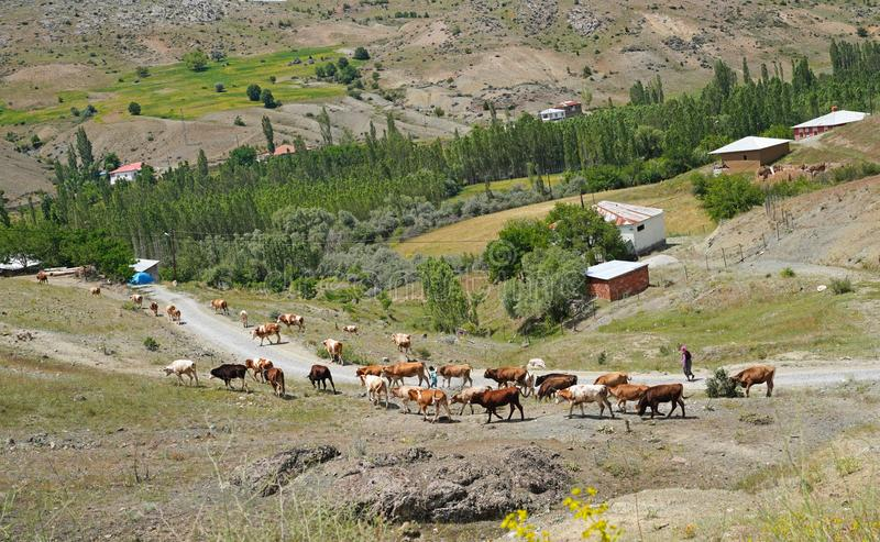 Cows are coming back home from pasture, Sivas, Turkey royalty free stock photography