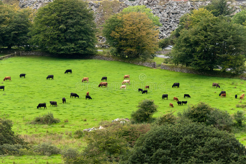 Download Cows in Cornwall stock image. Image of landscape, vegetation - 24669685
