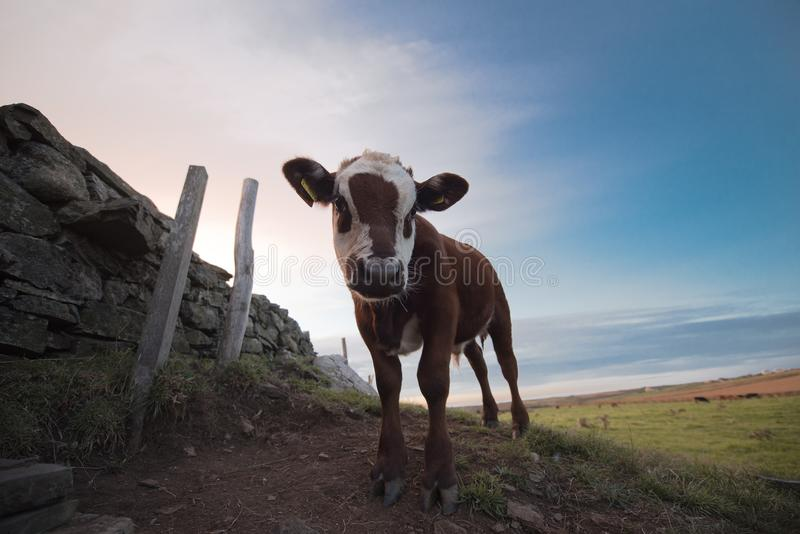 Cows in Cornwall. Sneaky cow on a field at Lizard point royalty free stock image