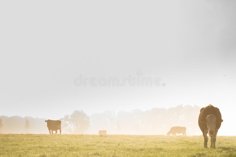 Cows In Country Field Free Public Domain Cc0 Image