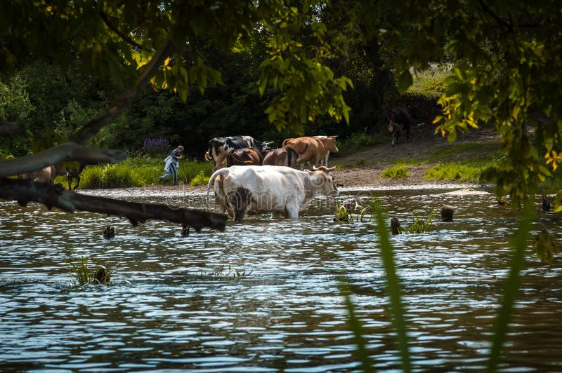 Cows cross the river cows drink water from the river graze in the summer royalty free stock photo