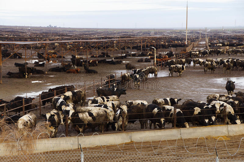 Cows crowded in a muddy feedlot. Black and white cows crowded in a muddy feedlot, Central valley, California royalty free stock photo