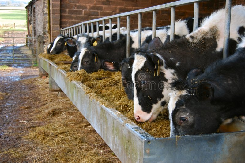 Cows on dairy farm feeding from a trough of hay stock photos