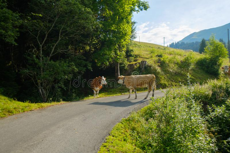 Cows dammed the mountain road at Swiss mountains stock images