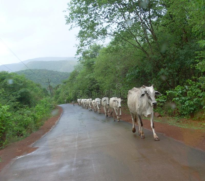 Cows discipline. It is rare view of cows on road side with discipline royalty free stock images