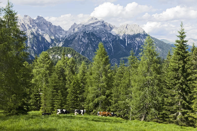 Download Cows of the Dolomites stock photo. Image of cows, grazing - 19639578