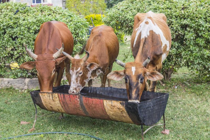 Cows drinking from a trough stock photo