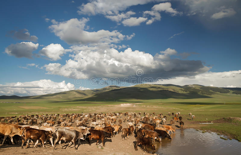 Download Cows Drinking Water On Highlands Stock Image - Image: 26649493