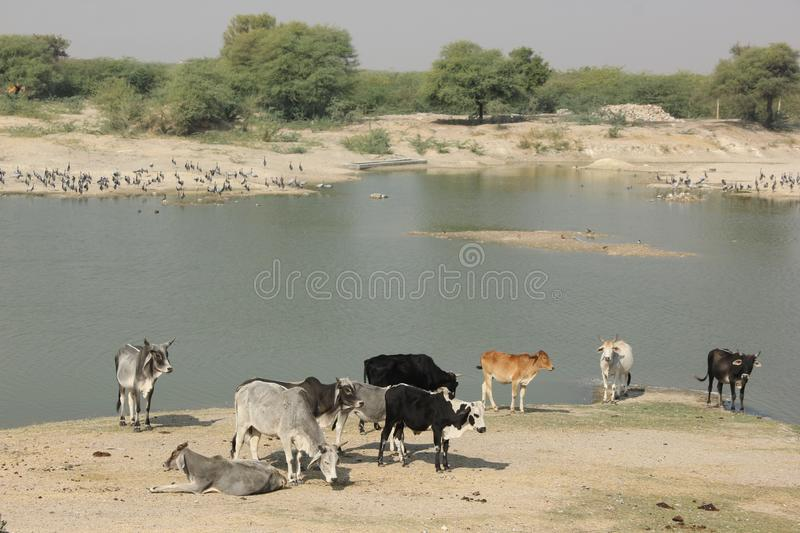 Cows are drinking from the river royalty free stock images