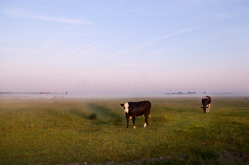 Download Cows on Dutch pastoral stock photo. Image of rural, dusk - 25080962