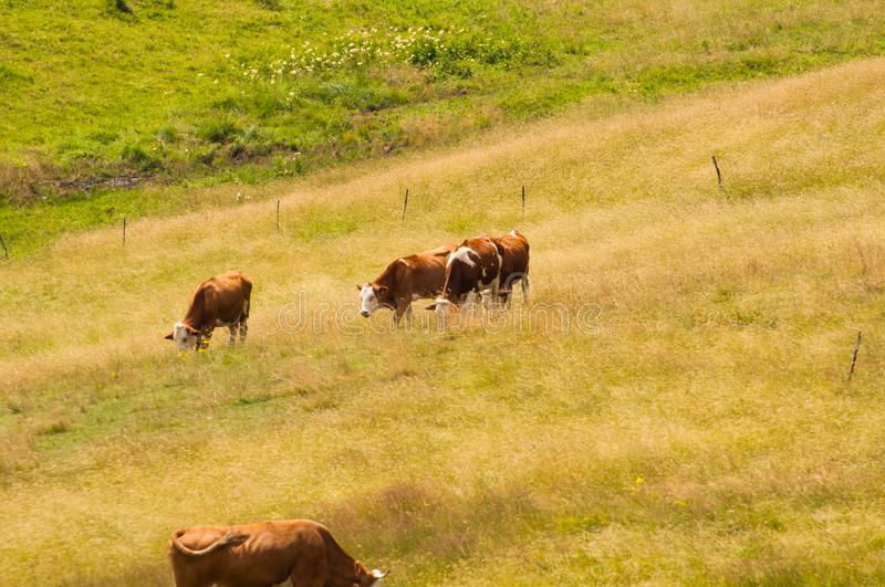 Cows eat grass in the meadow in the mountain stock photos