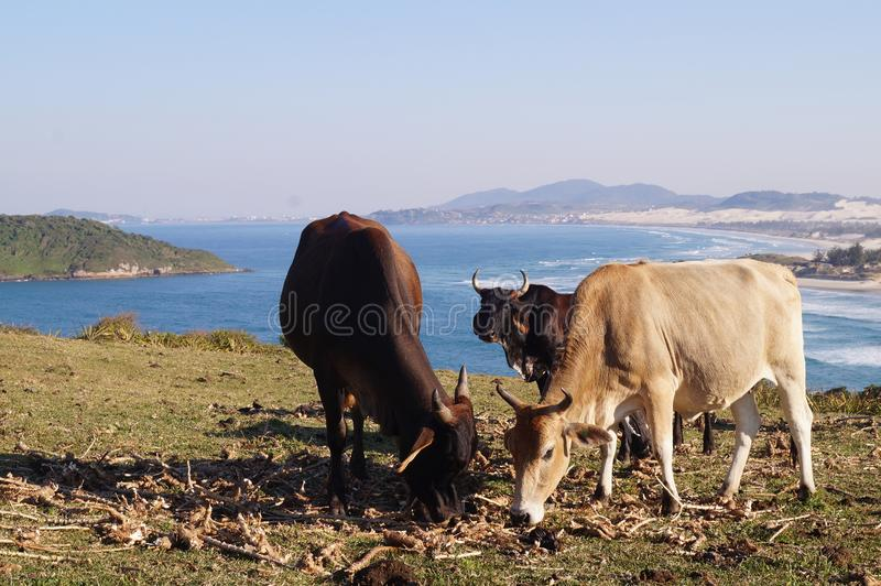 Cows Eating Grass royalty free stock image