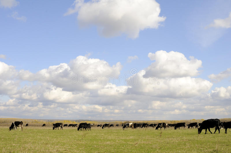 Cows Eating Grass Royalty Free Stock Images