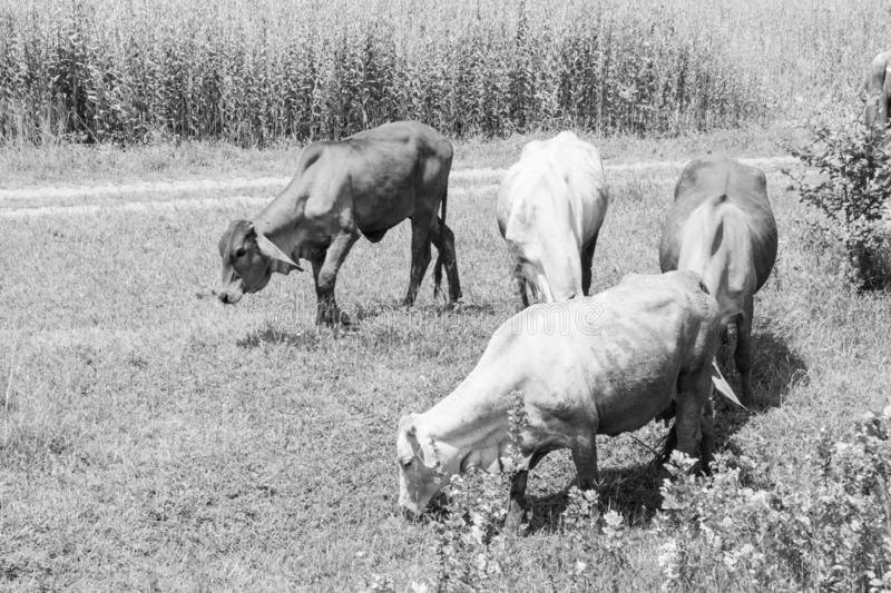 Cows eating grass in a farm black and white picture stock images