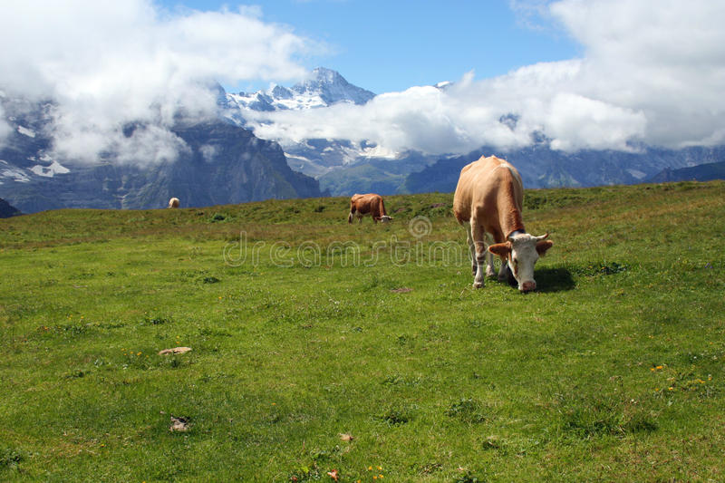 Cows eating grass in the alps mountains Switzerland stock photos
