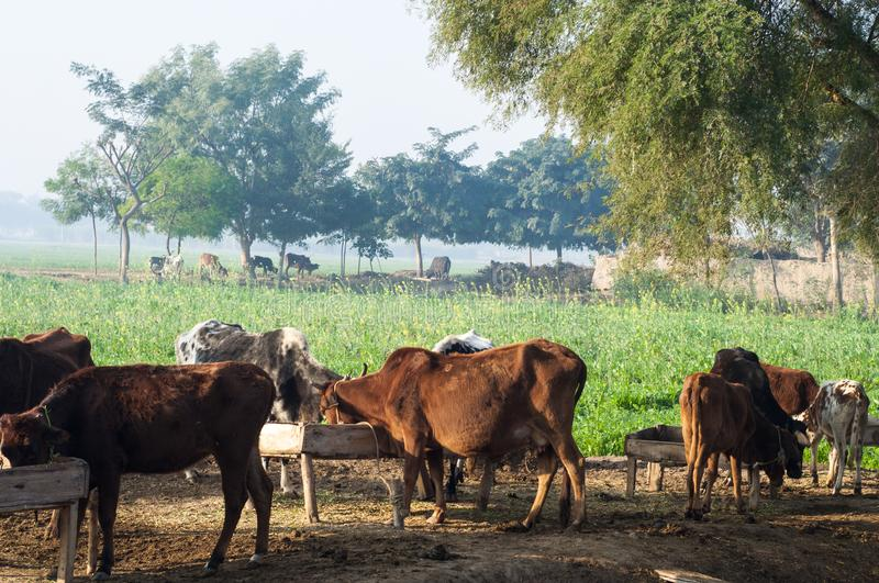 Domestic Animals In The Countryside Of Punjab Stock Image