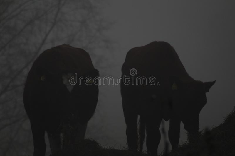 Cows eating in a thick mist. Grey background royalty free stock image