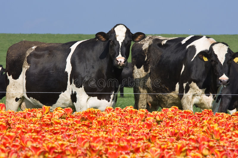 Cows eating Tulips. Cows in the field after the tulip field royalty free stock photos
