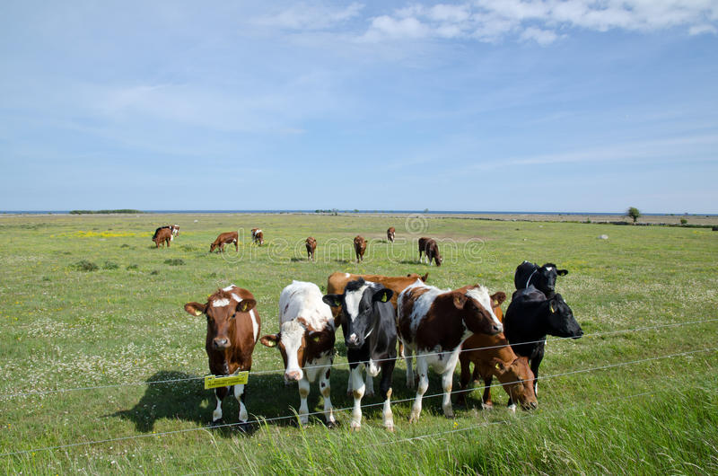 Cows at electric lines stock photos