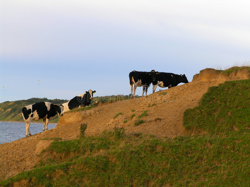 Cows in evening light royalty free stock images