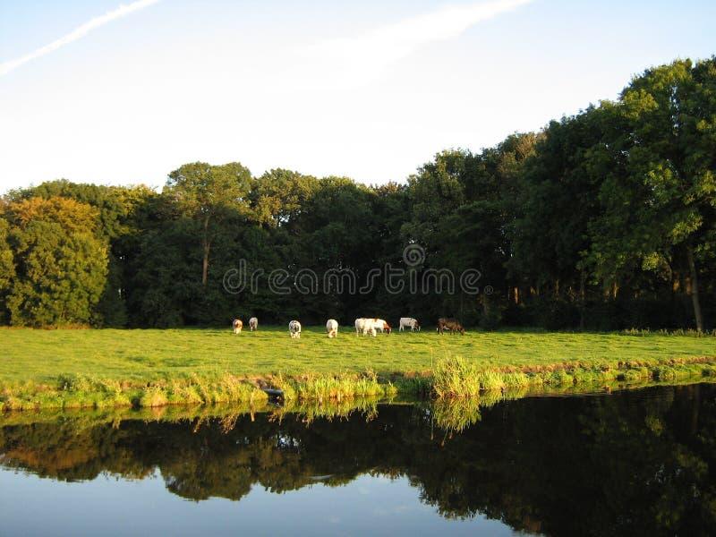 Cows in evening light stock photos