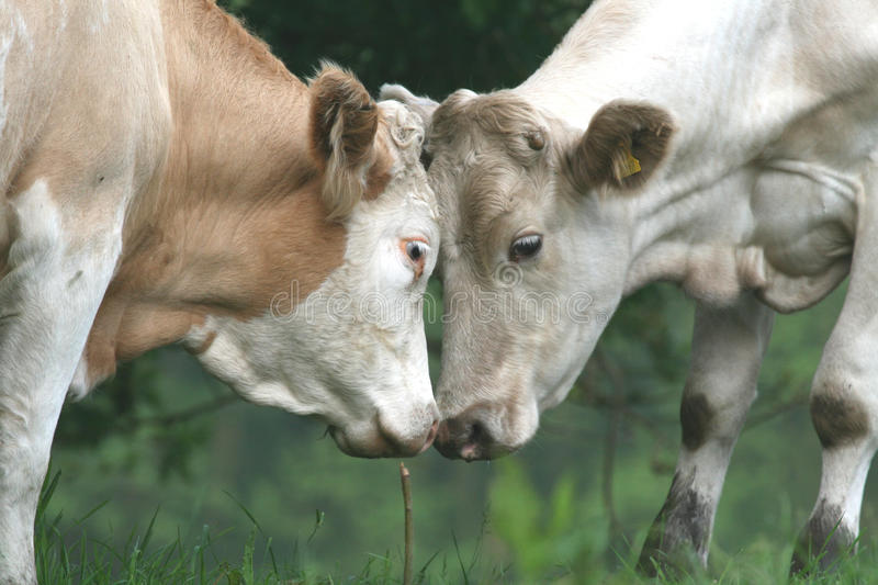 Download Cows Face To Face Stock Photography - Image: 14027342