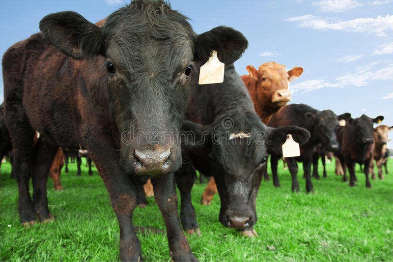 Cows on farm. Closeup of beef cow with other cattle in background on farm royalty free stock photos