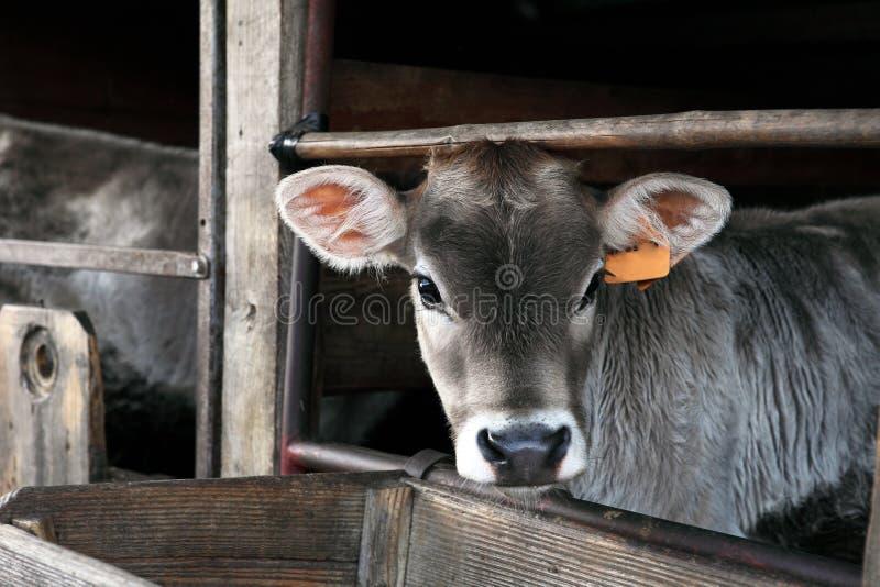 Cows farm royalty free stock photo