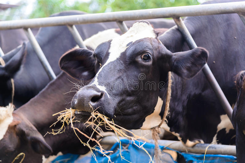 Cows in a farm, Dairy cows eating in a farm royalty free stock photos