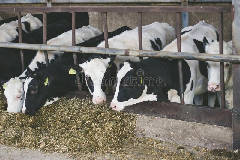 Cows in a farm. stock photography