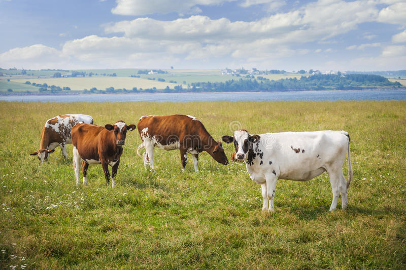 Cows in farm field royalty free stock image