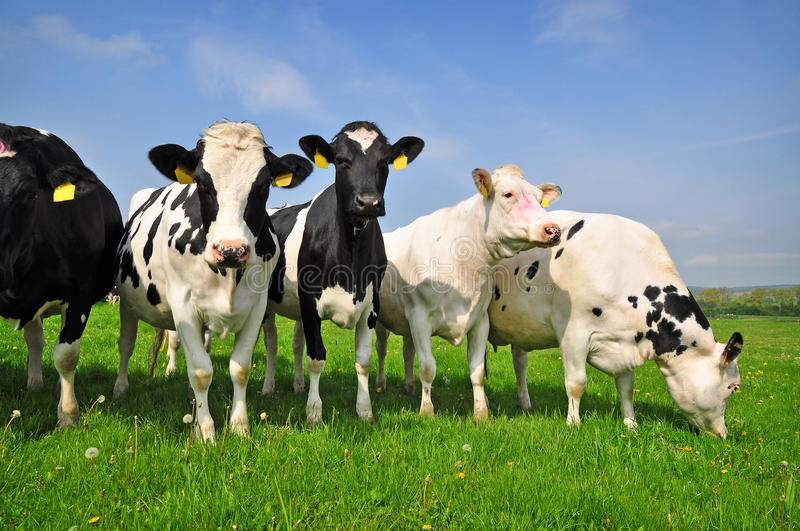 Cows on farm stock photos