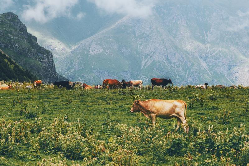Cows farm in mountains alpine green valley summer highland pasture. Landscape organic animal agriculture stock photos