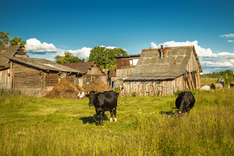 Cows on a farm. Non-urban scene royalty free stock photo