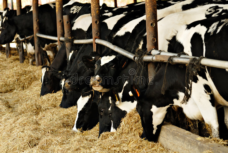 Cows feeding stock photography