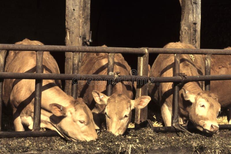Cows Feeding royalty free stock photos