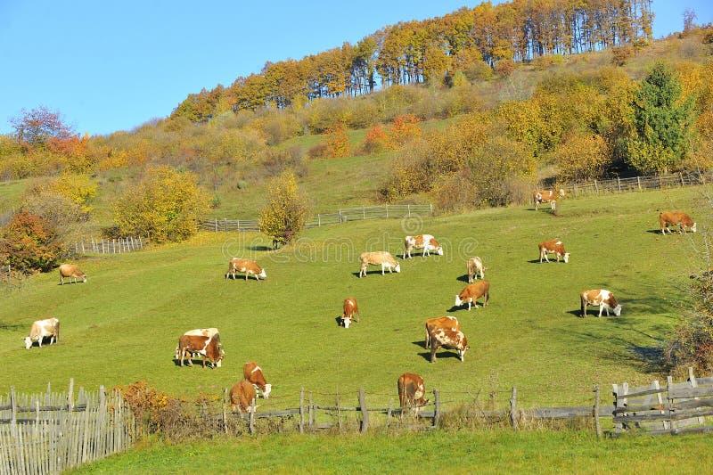 Cows feeding in a field stock photos