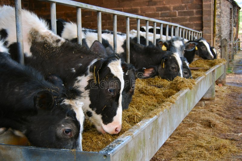 Cows feeding from a metal trough royalty free stock image