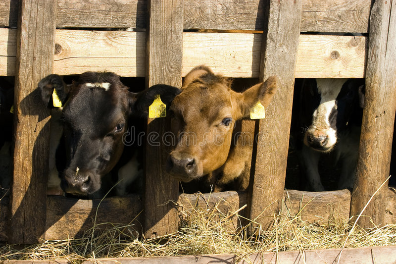 Download Cows in feeding place stock image. Image of curious, cows - 8314043