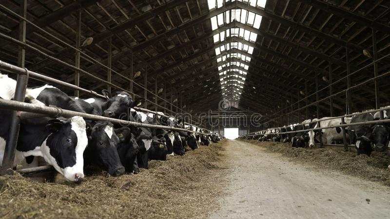 Cows feeding process on modern farm. Close up cow feeding on milk farm. Cow on dairy farm eating hay. Cowshed stock photography