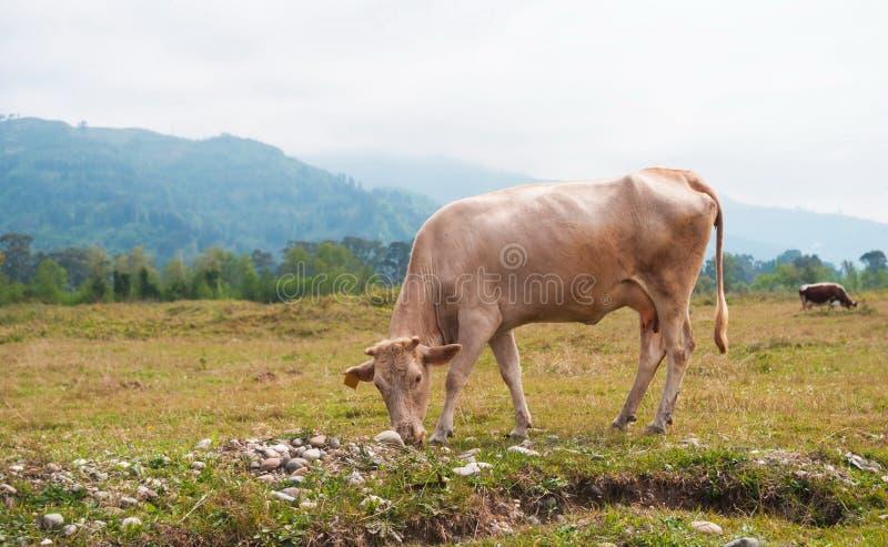Cows in the field of Adjara. Georgia royalty free stock photos