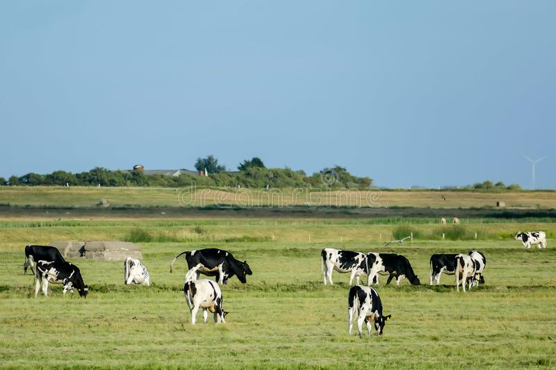 cows in a field, in Sweden Scandinavia North Europe royalty free stock photography