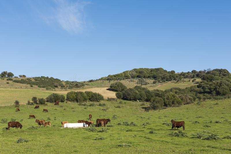 Cows in the field with the calves stock images